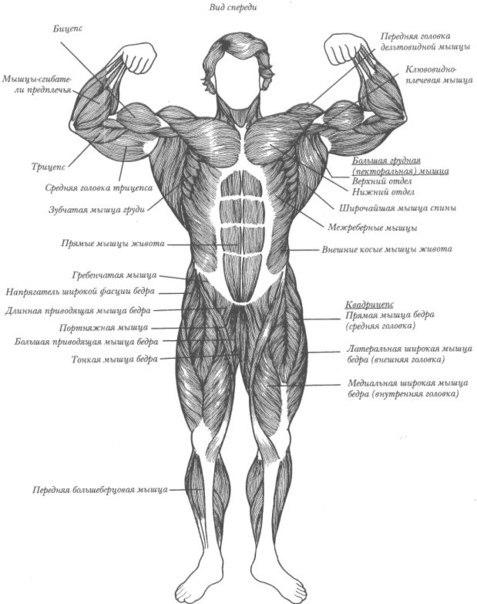 Все мышцы человека