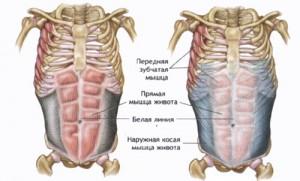 мышцы живота фото