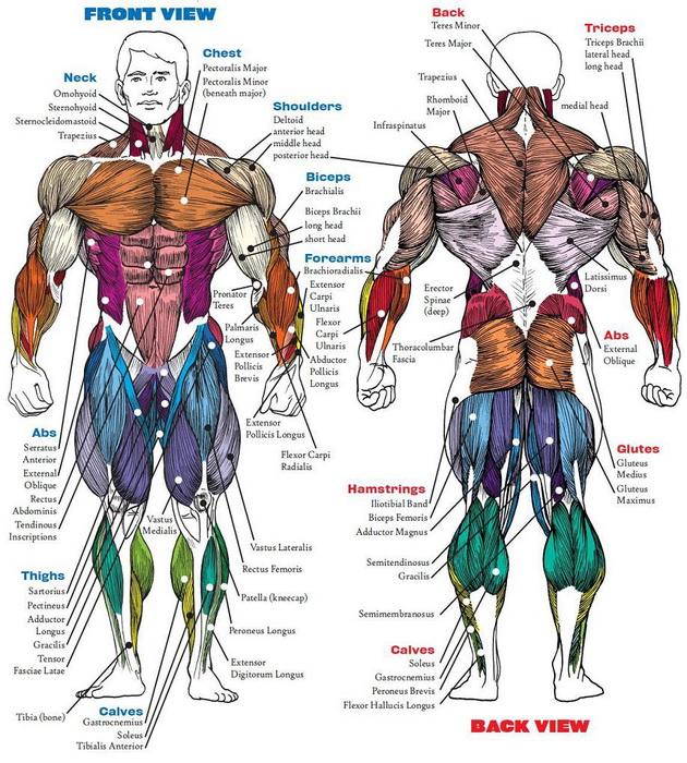 группы мышц фото