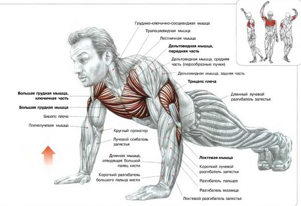 отжимания какие мышцы работатют