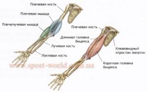 мышцы рук человека - бицепс