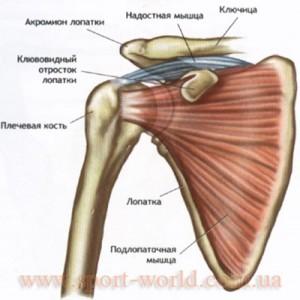 Анатомия дельтовидных мышц