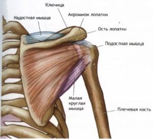 мышцы плечей