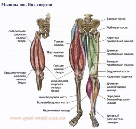 мышцы ног фото