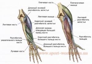 мышцы рук фото