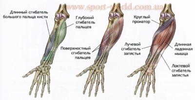 мышцы рук картинки