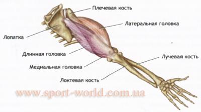 мышцы рук человека - трицепс