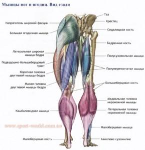 мышцы ног и ягодиц